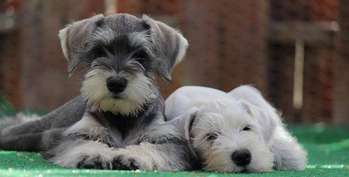 Two Miniature Schnauzer dogs laying on the ground