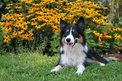 Collie dog scratching in a field