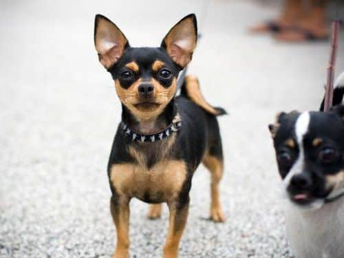 Chihuahua dog with spike collar