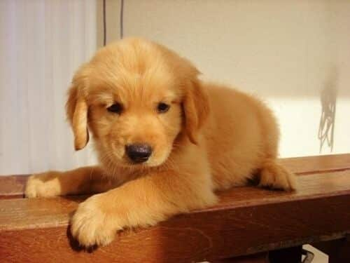 Golden retriever puppy sitting on a bench