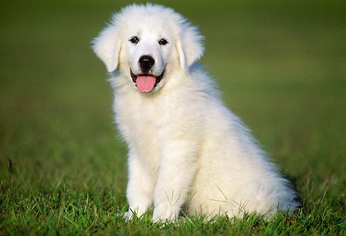 Great Pyrenees puppy standing in a grassy field
