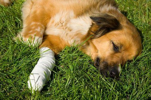 osteochondrosis in dogs