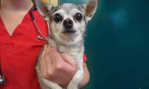 patent ductus arteriosus in dogs