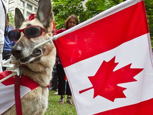 Dog holding a Canadian flag in his mouth