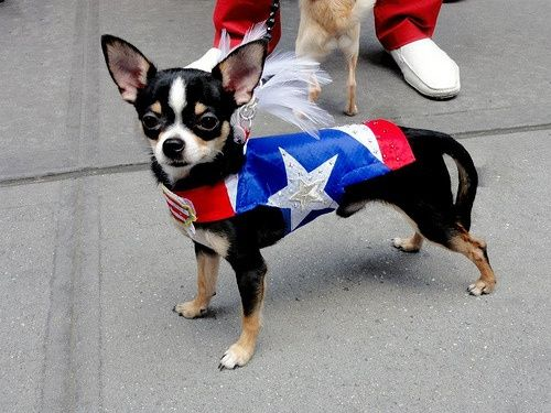Chihuahua posing with Puerto Rican flag