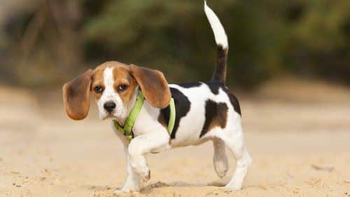 Small dog limping on a sandy beach