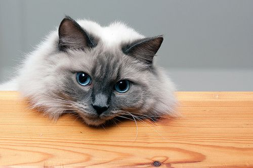 Ragdoll cat resting head on wood table