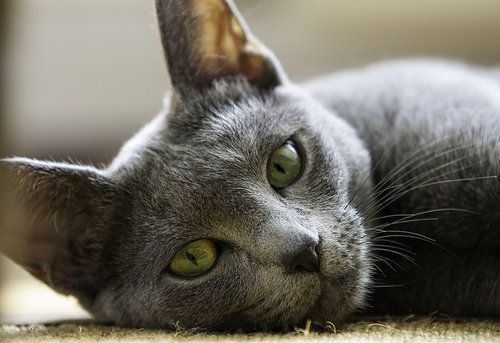 Russian Blue cat with green eyes laying on rug