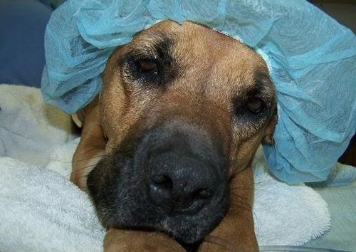 sensitivity to anesthesia in dogs