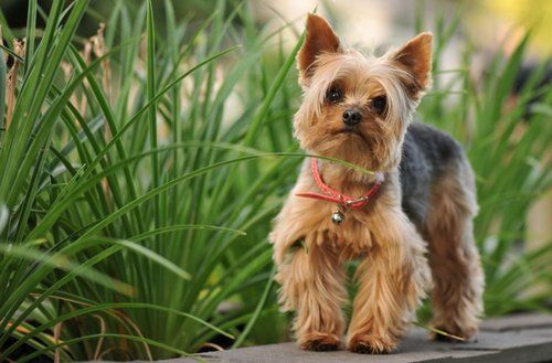Silky Terrier dog walking next to plants