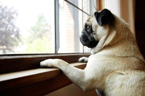 Pug dog waiting anxiously by a windo
