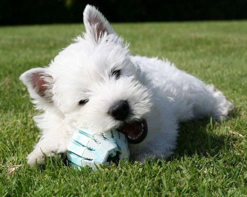 West Highland White Terrier chewing on a toy