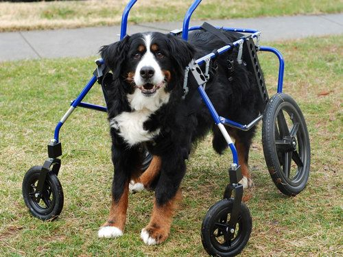Big dog in a walking wheelchair