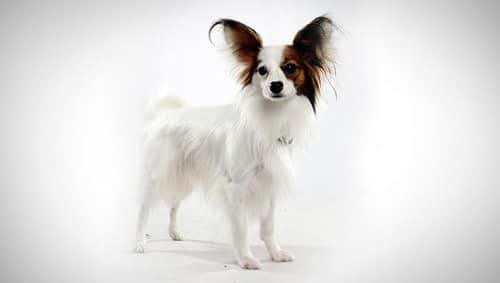 Cute Papillon dog with white and brown hair