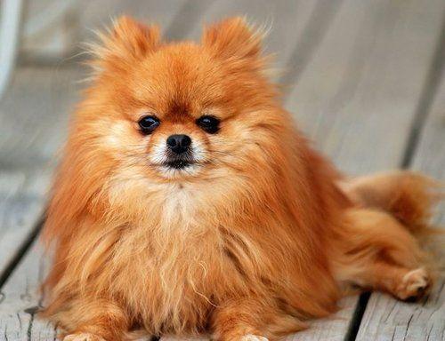 Pomeranian Dog Pet Insurance Compare Plans Prices
