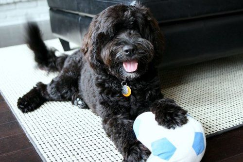 portuguese water dog playing with stuffed soccer ball