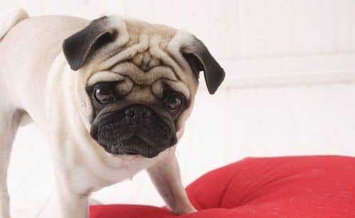 Cute Pug dog standing on red pillow