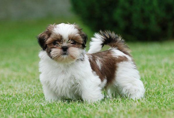 Shih Tzu Dog Pet Insurance Compare Plans Prices