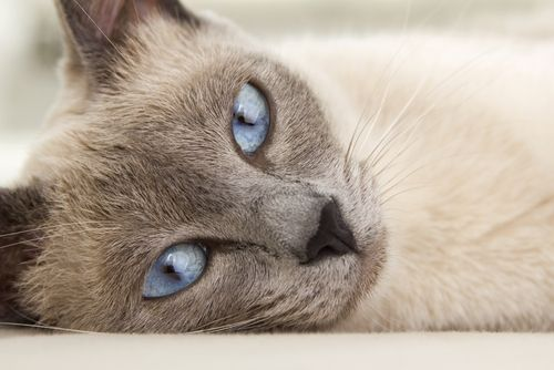 Beautiful Siamese cat with blue eyes laying down