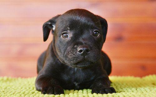 staffordshire bull terrier dogs