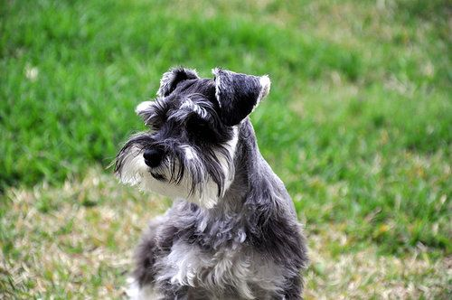 standard schnauzer dogs