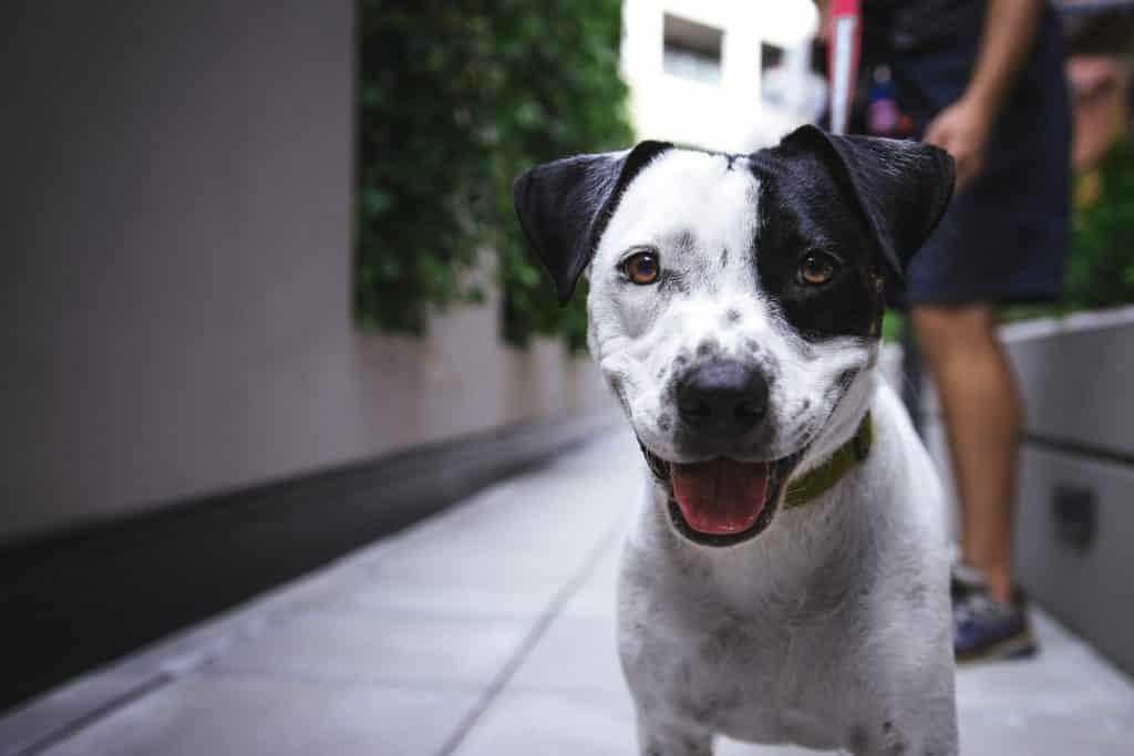 pneumonia in dogs