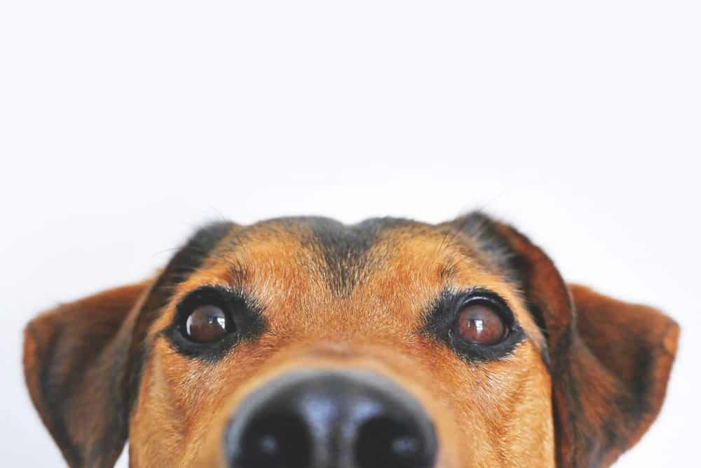 folliculitis in dogs