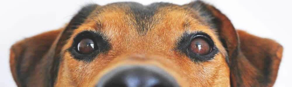 folliculitis in dogs