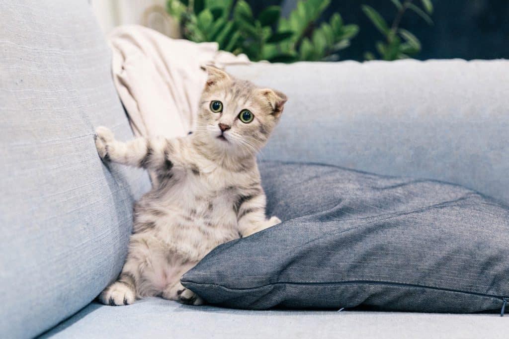 cerebellar hypoplasia in cats