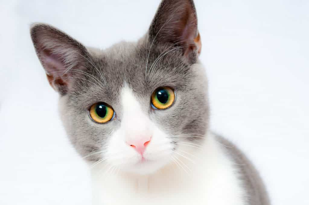 ear canal ablation cats