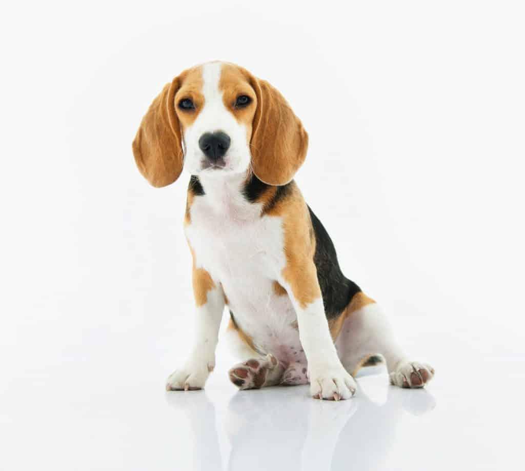 parvovirus in dogs
