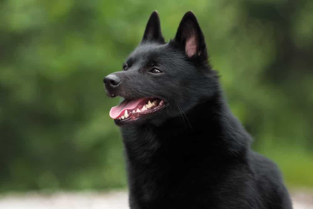 schipperke dog
