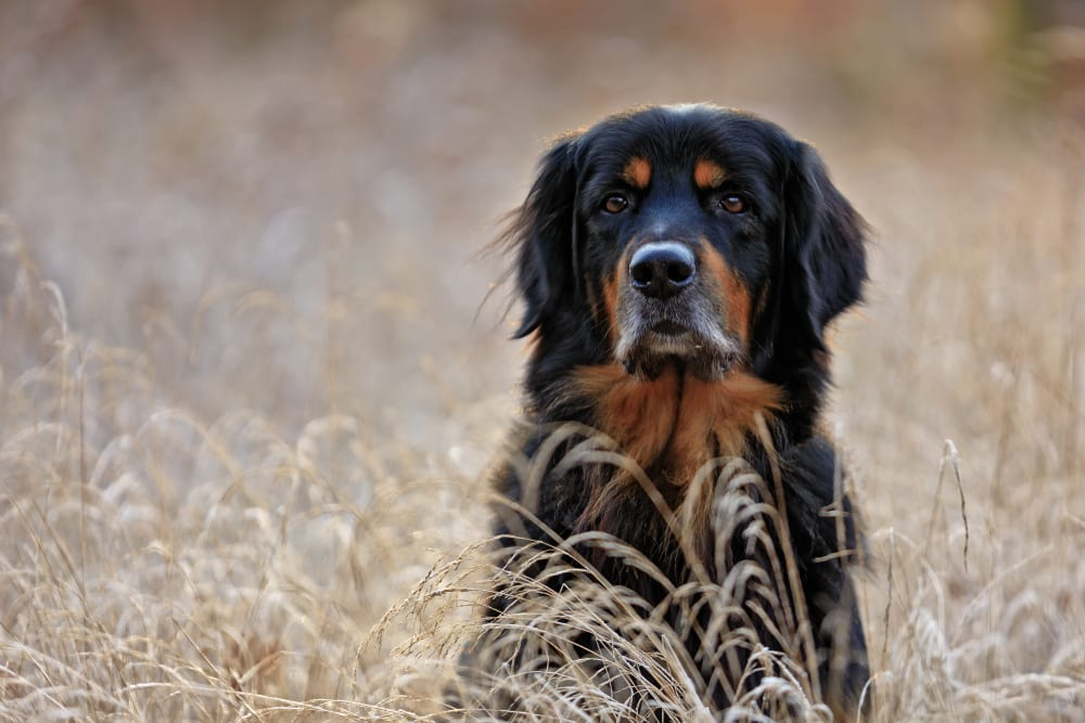 hovawart dog breed