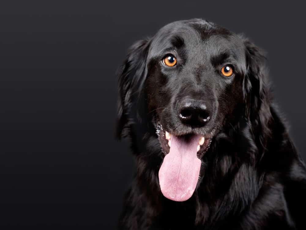 megaesophagus in dogs