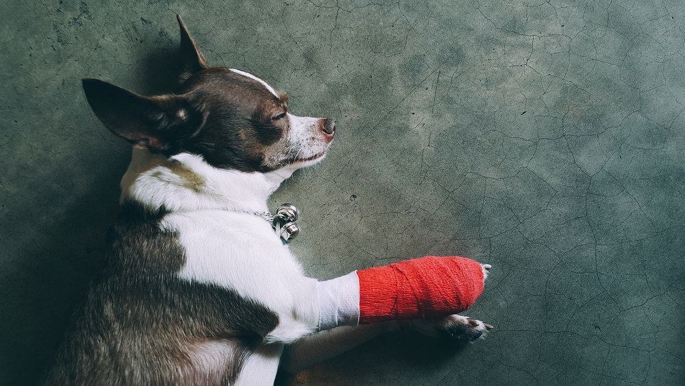 accident only pet insurance