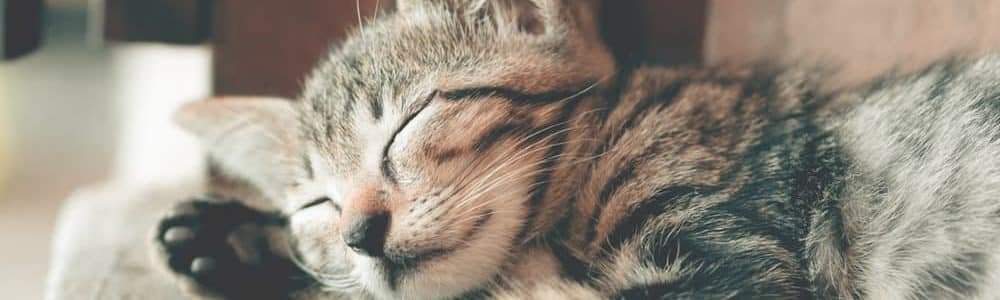 cat dreaming about pet insurance