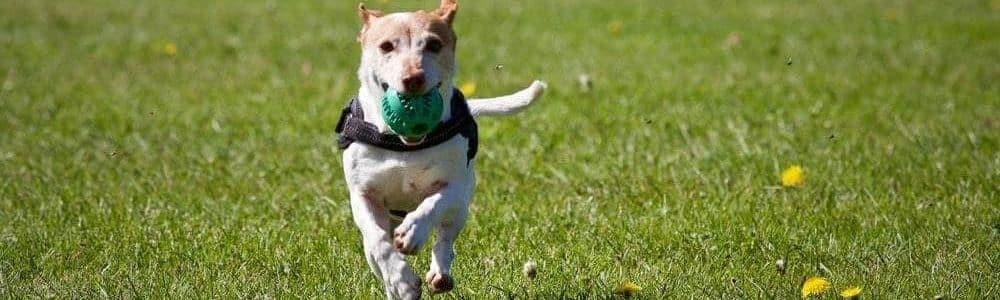 dog running for joy