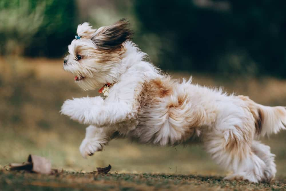 exercise induced collapse in dogs