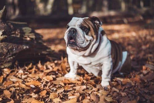 english bulldogs are slow
